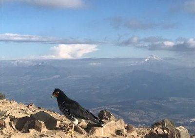 Vogel Pichincha